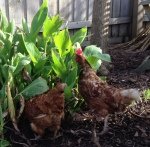 Betty & Wilma chickens